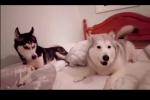 Clip: Ghen tuông phiên bản chó Husky