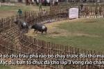 Xem trâu chọi phá rào bỏ chạy trong lễ hội ở Vĩnh Phúc