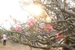 Video: Chiêm ngưỡng cây hoa sứ cổ trăm năm tuổi đẹp hiếm có khó tìm