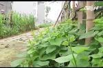 Tận dụng vỉa hè, lề đường trồng rau 'sạch': Coi chừng ung thư