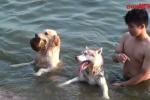 Video: Chó cưng đắt tiền ở Thủ đô 'rủ nhau' ra Hồ Tây tắm giải nhiệt