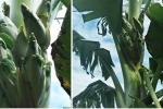 Kỳ lạ cây chuối trổ 12 bắp ở Quảng Bình