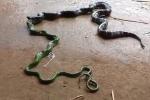 Clip: Ăn thịt đồng loại cùng kích cỡ, rắn mắc nghẹn phải quằn quại nôn ra