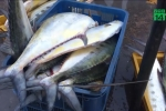 Ngư dân Quảng Ngãi trúng mẻ cá hiếm, trị giá tiền tỷ khi vừa ra khơi