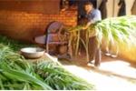Máy băm cỏ năng suất cao