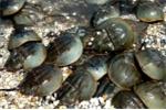 Bộ Y tế cảnh báo: Nguy hiểm chết người nếu nhầm lẫn giữa sam và so biển