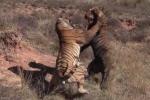 Cười vỡ bụng clip đại chiến của 2 chú hổ