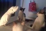 Cười té ghế clip vẹt giả tiếng mèo