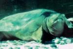 Chuyện phối giống ly kỳ của 'rùa Hồ Gươm' khổng lồ ở Trung Quốc