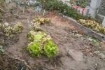 Phun thuốc diệt cỏ vào rau đầu độc hàng xóm