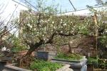 Vườn mai trắng đẹp hiếm có ở Hà Nội sẵn sàng phục vụ Tết