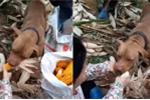 Clip chó cưng giúp chủ bóc vỏ ngô ở Cao Bằng lên báo nước ngoài