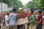 Video: Phu vải kiếm tiền triệu mỗi ngày ở thủ phủ vải thiều Bắc Giang