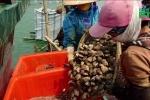 Video: Dân Quảng Ninh nuôi ngao hai cùi kiếm tiền tỷ mỗi năm