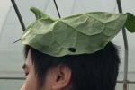 Video: Cận cảnh rau mồng tơi khổng lồ, không nhớt của nông dân ngoại thành Hà Nội