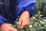 Nông dân thắp đèn, ngắt nụ cho hoa nở đúng Tết