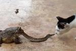 Mải đánh mèo, rắn bị ếch nuốt chửng lúc nào không hay