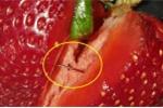 Bê bối găm kim khâu vào dâu tây: Động cơ không ngờ của nghi phạm