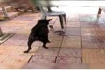 Chó mực tấn công, cắn xé rắn hổ mang cứu chủ