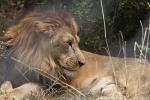 Kẻ săn trộm bị đàn sư tử giết ở Nam Phi
