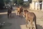 Cảnh sát Ấn Độ bắt giam 8 con lừa vì tội ăn lá cây nhà hàng xóm
