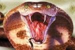 Những trường hợp bị rắn hổ mang chúa cắn chết thương tâm