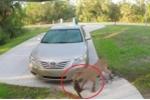 Clip: Báo sư tử truy sát, ăn thịt mèo trước hiên nhà gây sốc