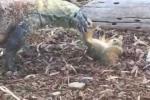 Vào nhầm lãnh địa, sóc bị rồng Komodo xơi tái