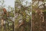 Clip: Khỉ mẹ ôm con giao tranh ác liệt với hổ dữ trên ngọn cây