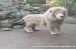 Thấy bong bóng nổ ngay trước mũi, sư tử giật mình nhảy dựng