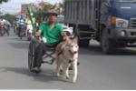Ảnh: Ngỡ ngàng chú chó Bắc Cực kéo xe lăn chở người đi đúng luật giao thông