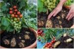 Loài cây kỳ lạ cho quả cà chua và củ khoai tây