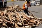 Tiêu hủy hơn 2 tấn ngà voi cùng 70kg sừng tê giác lậu