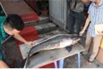 Video: Cận cảnh cá trắm 'khủng' nặng 42kg vừa sa lưới ngư dân Yên Bái
