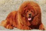 Chó ngao cắn chết chủ ở Hà Nội: Phải biết những điều này để đảm bảo an toàn