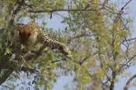 Video: Báo đốm bắt khỉ như hái trái cây
