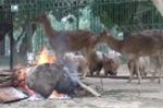 Rét dưới 15°C, đốt lửa sưởi ấm cho thú ở Hà Nội