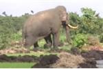 Voi rừng tàn phá hàng trăm triệu đồng của dân ở Đồng Nai