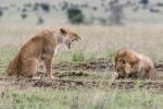 Bị bạn tình gào thét vào mặt, sư tử đực co rúm mình sợ hãi