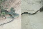 Video: Chuột nổi điên lao vào cắn xé, rắn bất lực thoi thóp nằm chờ chết