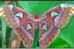 Cận cảnh đàn bướm lạ khổng lồ, đẹp như tranh vẽ gây xôn xao Bạc Liêu