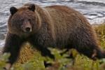Thợ săn gấu bị xác con vật đè trúng người, nguy hiểm đến tính mạng