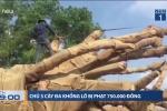 3 cây đa khổng lồ vi vu trên quốc lộ: Chủ cây bị phạt 750.000 đồng