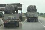 Video: Thót tim xe tải chở voi chạy bon bon trên quốc lộ ở Hà Tĩnh