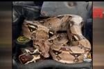 Clip: Mở mui ô tô, hoảng hồn thấy trăn Nam Mỹ cuộn tròn bên trong