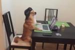 Há hốc mồm xem chú chó Shiba Inu hoàn thành xuất sắc thử thách 'hóa đá'