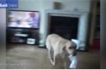 Chú chó biết đưa giấy cho chủ lau mỗi lần chủ hắt hơi