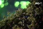 Hương hoa sữa nồng nàn 'tra tấn' dân Thủ đô
