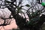 Vườn đào cổ thụ tiền tỷ ở Hải Phòng sẵn sàng đón Tết