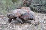 Cảnh tượng hiếm có: Rắn chuông kịch độc chễm chệ cưỡi lưng rùa sa mạc